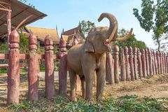 Toque de trombeta do elefante Elefante que ruje fotos de stock