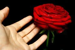 Toque em uma rosa Imagens de Stock