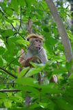 Toque Macaque. Resting in the treetops Royalty Free Stock Image