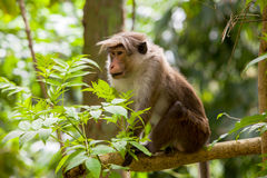 Toque macaque aap royalty-vrije stock afbeelding