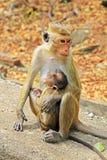Toque macaque Aapfamilie, Sri Lanka Royalty-vrije Stock Foto's