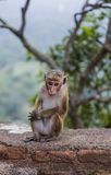 Toque macaque Stock Photography