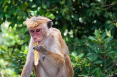 Toque Macaque Royalty Free Stock Image