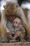 Toque macaque. The female toque macaque feeds a cub Royalty Free Stock Photos