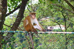 Toque macaque on the fence Stock Image