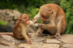 Toque macaque grooming baby at Cave Temple in Dambulla, Sri Lank Royalty Free Stock Images