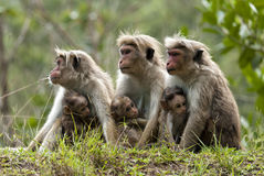 Toque macaque. With kids looking in different directions Royalty Free Stock Photos