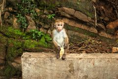 Toque macaque Macaca sinica baby, eating a banana from tourist royalty free stock image
