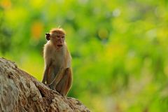 Toque macaque, Macaca sinica, monkey with evening sun. Macaque in nature habitat, Sri Lanka. Detail of monkey, Widlife scene from. Asia royalty free stock photos