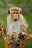 Toque macaque, Macaca sinica, monkey with fruit in the mouth, nature habitat, Sri Lanka. Toque macaque, Macaca sinica, monkey Stock Photography