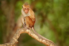 Toque macaque, Macaca sinica. Monkrey on the tree. Macaque in nature habitat, Sri Lanka. Detail of monkey, Wildlife scene from Asi. A Stock Image
