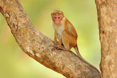 Toque macaque, Macaca sinica. Monkrey on the tree. Macaque in nature habitat, Sri Lanka. Detail of monkey, Wildlife scene from Asi. A royalty free stock photo