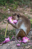Toque macaque /moneky die bloem, Sri Lanka eten Royalty-vrije Stock Afbeeldingen