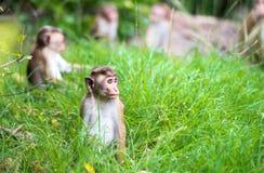 Toque macaque monkey babies in natural habitat in Sri Lanka Stock Photos