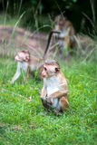 Toque macaque monkey babies in natural habitat in Sri Lanka Royalty Free Stock Photos