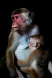 Toque macaque monkey - mother breastfeeding baby Stock Images
