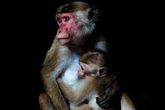Toque macaque monkey - mother breastfeeding baby Royalty Free Stock Photo