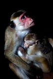 Toque macaque monkey - mother breastfeeding baby Royalty Free Stock Photography