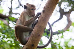 Toque macaque monkey Royalty Free Stock Images
