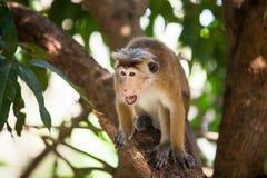 Toque macaque monkey. In natural habitats - Sri Lanka wildlife Stock Photography