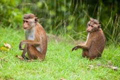 Toque macaque monkey. In natural habitats - Sri Lanka wildlife Stock Images
