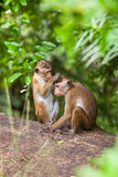 Toque macaque monkey Royalty Free Stock Photo