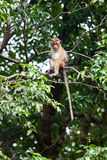 Toque macaque monkey Stock Photography