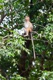 Toque macaque monkey Stock Image
