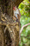 Toque macaque monkey Royalty Free Stock Photography