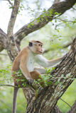 Toque macaque monkey sitting on a tree  in natural habitat in Sr Royalty Free Stock Photo