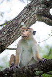 Toque macaque monkey sitting on a tree  in natural habitat in Sr Royalty Free Stock Photography