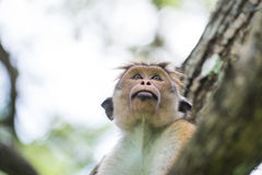 Toque macaque monkey sitting on a tree  in natural habitat in Sr Stock Photo