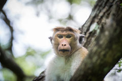 Toque macaque monkey sitting on a tree  in natural habitat in Sr Stock Image