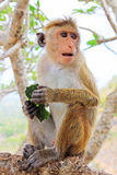 Toque macaque Monkey, Sri Lanka stock image