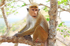 Toque macaque Monkey, Sri Lanka Royalty Free Stock Photography