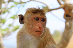 Toque macaque Monkey, Sri Lanka royalty free stock photo