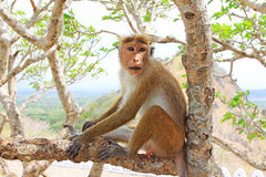 Toque macaque Monkey, Sri Lanka stock photography