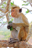 Toque macaque Monkey, Sri Lanka stock photo