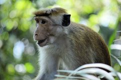 Toque Macaque. A Toque Macaque sitting alone in the Yala national park Royalty Free Stock Image
