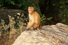 Toque macaque sitting on a rock at Cave Temple in Dambulla, Sri Royalty Free Stock Photos