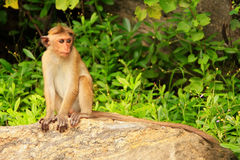 Toque macaque sitting on a rock at Cave Temple in Dambulla, Sri Stock Photo