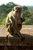 A Toque Macaques feeding its baby on the stairway leading up Sigiriya Rock in Sri Lanka. Royalty Free Stock Photography