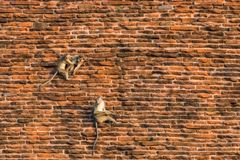 The toque macaques, macaca sinica are climbing the walls of the Jetavanaramaya temple in Sri Lanka. Monkeys on the red bricks stock photo