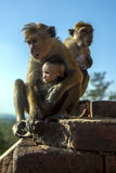 A Toque Macaques monkey feeding its baby on the stairway leading up Sigiriya Rock in central Sri Lanka. Royalty Free Stock Images