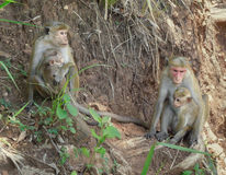 Toque macaques Royalty Free Stock Photo