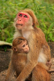 Toque macaques mother and baby sitting at Cave Temple in Dambull Stock Image