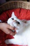 Toque macio da mão de uma criança à cabeça de um gato branco Imagem de Stock Royalty Free