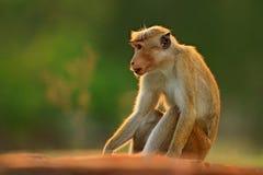 Toque makak, Macaca sinica, małpa z wieczór słońcem Makak w natury siedlisku, Sri Lanka Szczegół małpa, Widlife scena od Obraz Royalty Free
