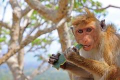 Toque-Makaken-Affe, Sri Lanka Lizenzfreie Stockbilder