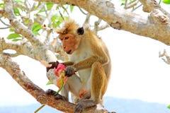 Toque-Makaken-Affe, Sri Lanka Lizenzfreie Stockfotografie